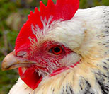Effects of 3 Tier Technologies litter treatments on commercial broilers
